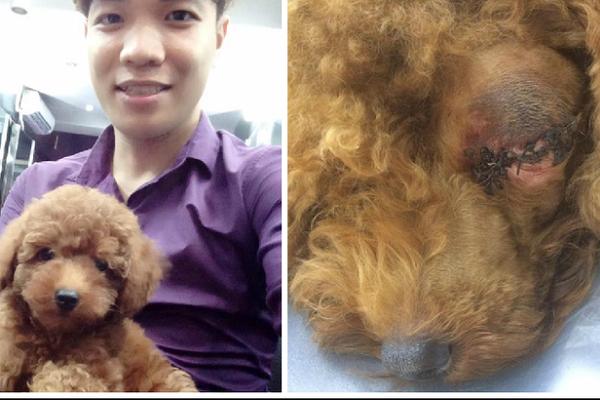 Chỉ vì lỡ tè bậy lên đệm, chú chó poodle bị đánh đến mù một bên mắt