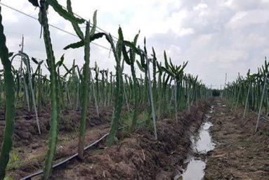 Mô hình trồng thanh long ruột đỏ bằng giàn tưới theo công nghệ Israel.