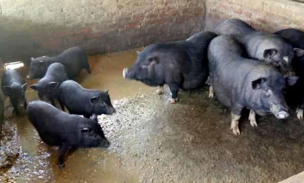 Nằm ngủ mơ về con lợn đen là điềm báo gì