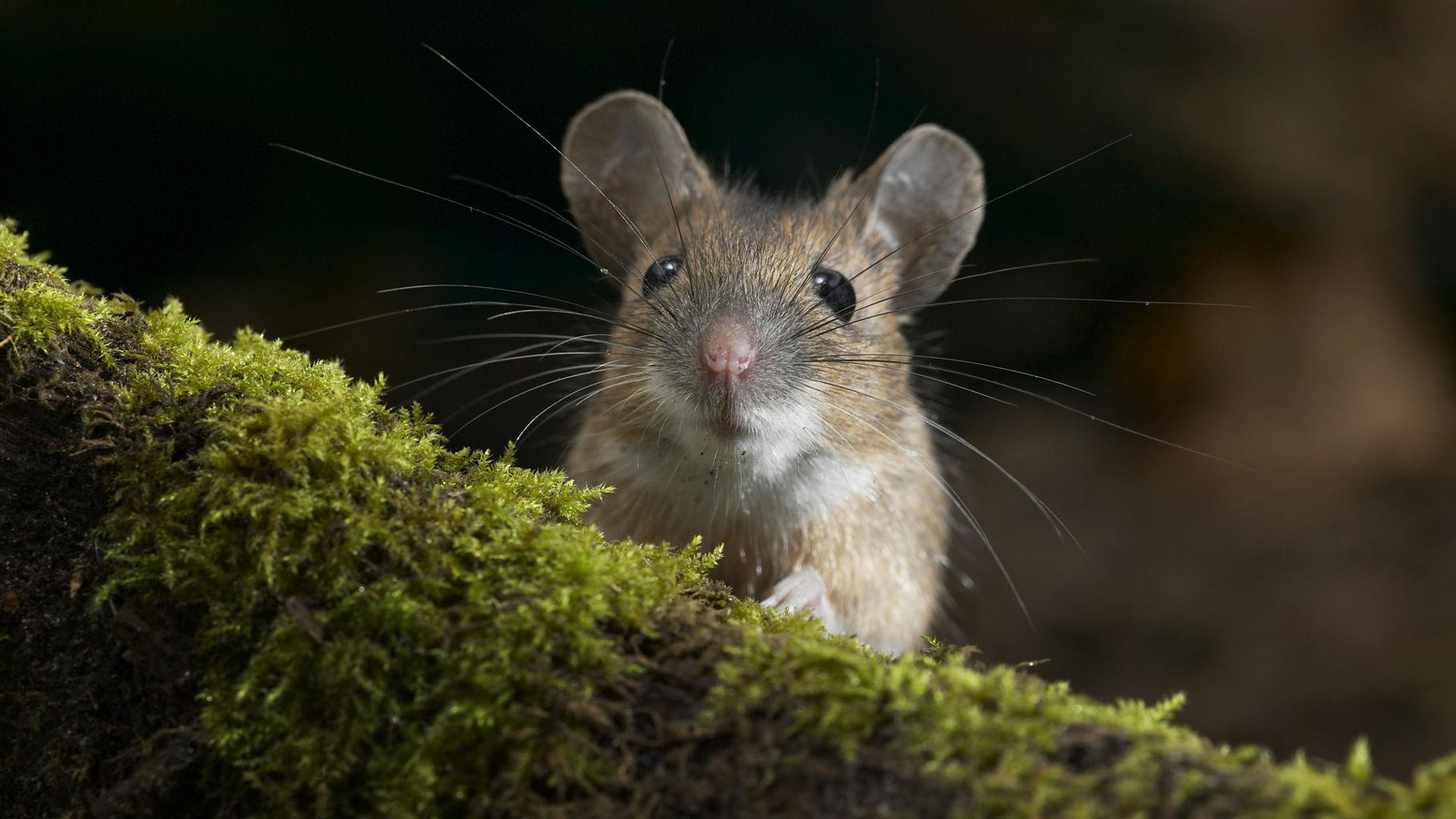 Mơ thấy chuột có ý nghĩa điềm báo như thế nào
