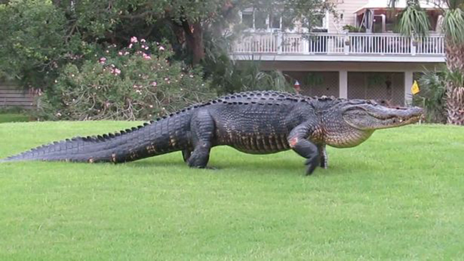 Nằm mơ thấy cá sấu đánh con số nào chắc ăn