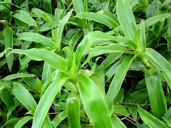 tác dụng chữa bệnh của cây lược vàng