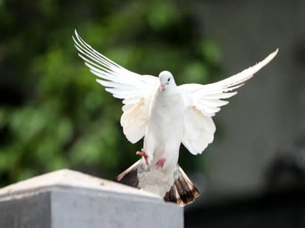 Chim bồ câu bay vào nhà có điềm gì? Là hên hay là xui